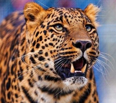 """ВК2024 """"Леопард"""" 39х48 см"""
