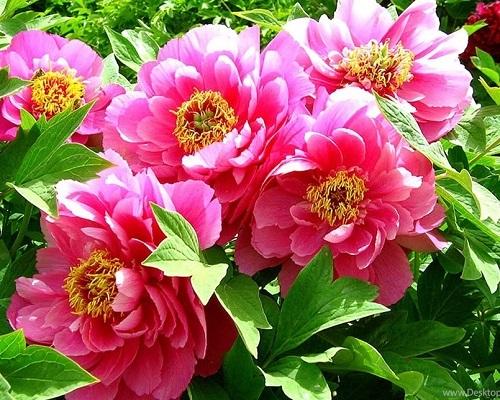 """РН GX27740 """"Ярко-розовые цветы"""", 40х50 см"""