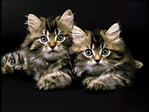 "АРС12161 ""Два котёнка на чёрном"", 40х50 см"