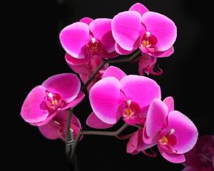 """РН GX24572 """"Розовая орхидея на черном фоне"""", 40х50 см"""