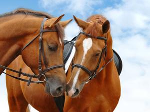 """РН GX24588 """"Две рыжих лошади"""", 40х50 см"""