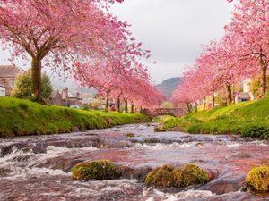 """РН GX24758 """"Розовые деревья вдоль реки"""", 40х50 см"""
